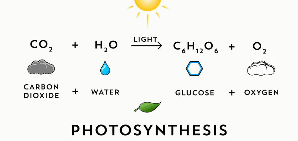 Photosynthesis Graphic